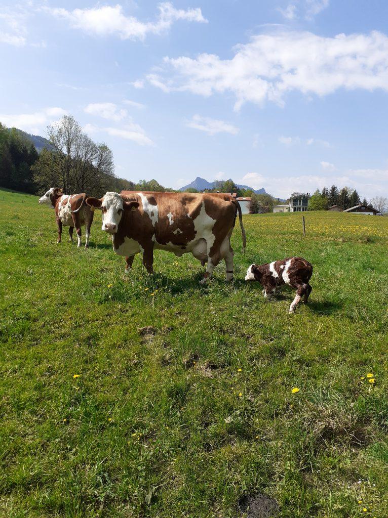Kuh Bella mit ihrem 10. Kalb